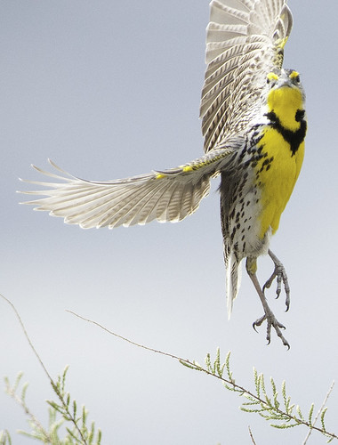 western meadowlark take off (Explored) | by Steve Courson