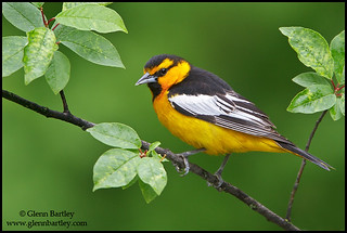 Bullock's Oriole (Icterus bullockii) | by Glenn Bartley - www.glennbartley.com