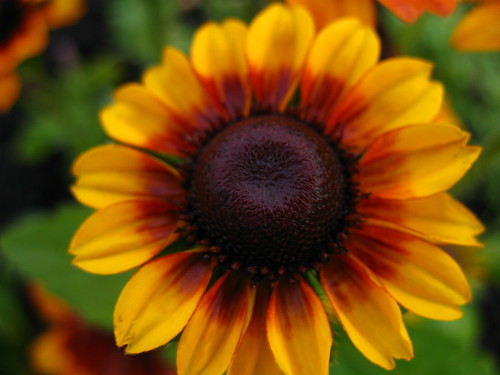 black eyed susan 3 | by badorsey
