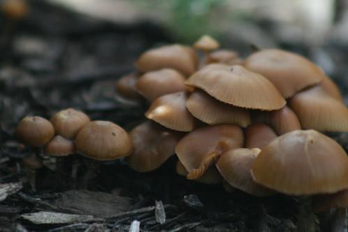 Madison : Gold top mushroom season