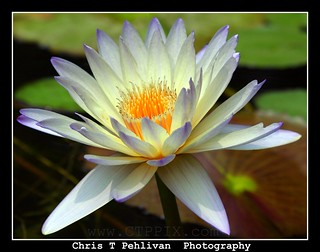 Waterlily Close-up | by CTPPIX.com