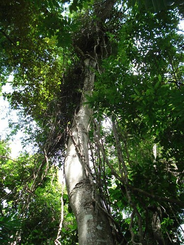 National Tree of Belize | by GoingLikeSixty.com