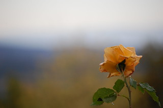 365 day29 late rose | by Ruth Flickr