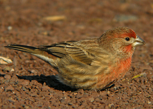 House Finch male | by kevinbolton56
