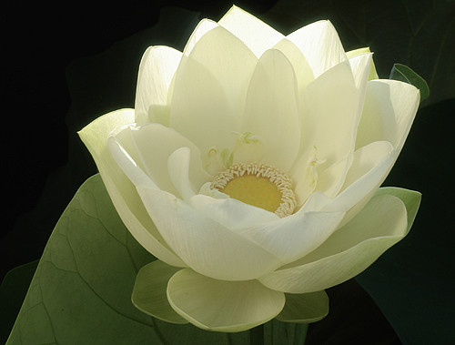 White lotus flower white lotus flower at sunrise flickr white lotus flower by bahman farzad mightylinksfo