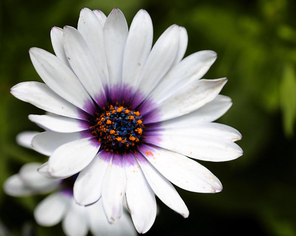 Purple Center Daisy Rob Flickr