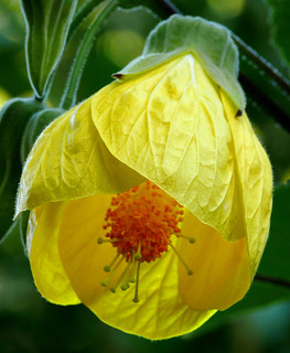 Abutilon x hybridum 'Apollo' #1 | Malvaceae - Tropical and ...