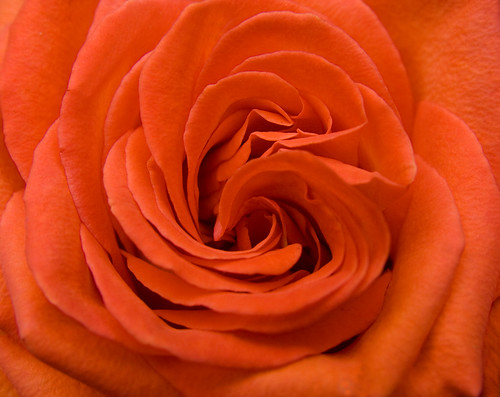 Orange Rose Petals | by Theresa Elvin