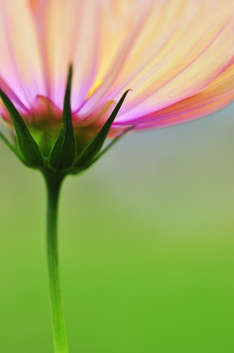 cosmos | by ajpscs