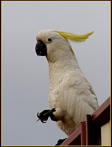 Sulphur-crested Cockatoo | by Tatters ✾