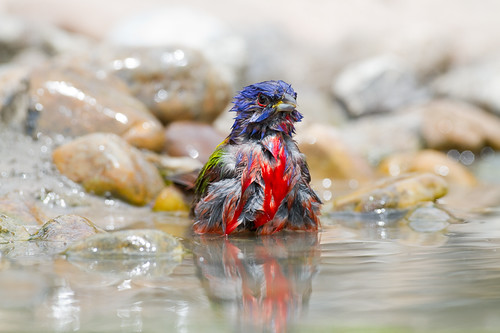 Painted Bunting bathing-7278 | by BobLewis