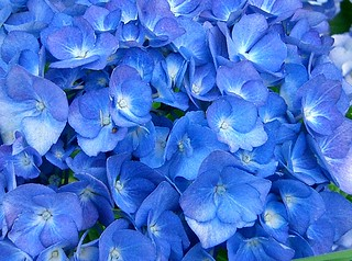 Hortensia | by 7colors