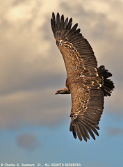 Ruppell's Griffon Vulture getting set to land 0R7E3722 | by WildImages