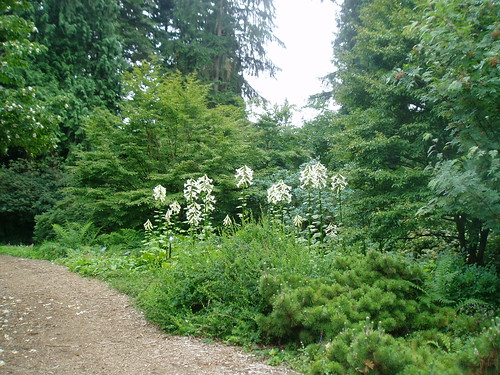 Cardiocrinum giganteum group from a distance | by RHR Horticulture