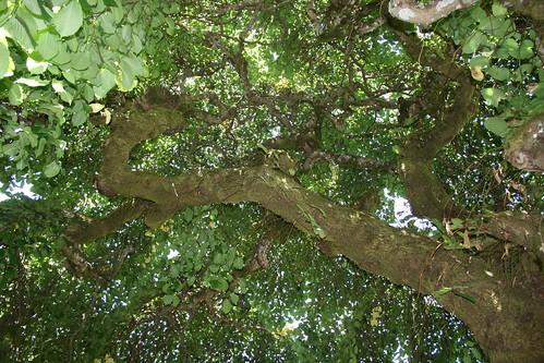 Filoli Gardens Magnificent Canopy Jill Clardy Flickr