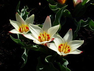 Tulipa kaufmanniana 'Ancilla' | by RHR Horticulture