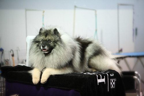 Keeshond - Pom on Steroids | by DonnitaMae