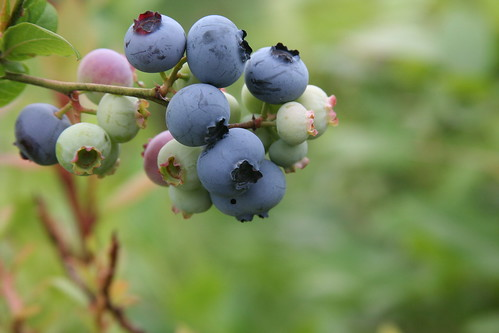 Culivated high bush blueberries at the B&B in Maine | by Queijo