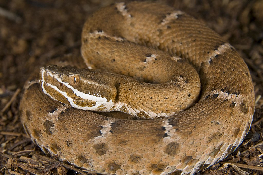 Resultado de imagem para Ridge-nosed rattlesnake