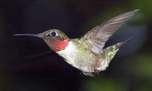 Ruby Throated Hummingbird | by hoganphoto
