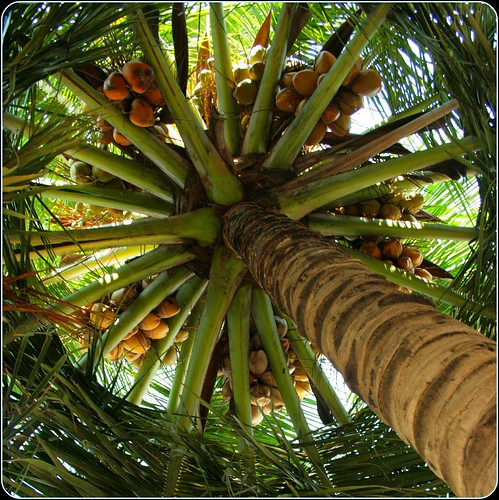 Coconut Tree different perspective | by Swami Stream