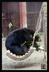 MOONBEAR RESCUE, CHENGDU CHINA 2008 | by electra-cute