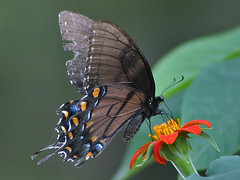 Eastern Tiger Swallowtail (Black form) on Mexican Sunflower | by cell911