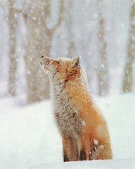 red fox in snow | by phoebe_rousseaux
