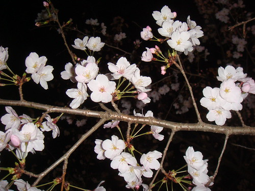 cherry blossoms_3 | by tsunma1