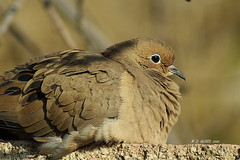 mourning dove | by creationcaptures (mtngpa)