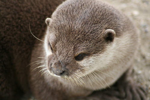 Otter | by tact1