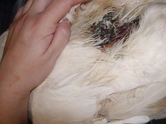 embden mix back injury | by waterfowlrescue