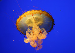 Jellyfish 1 | by Clicksy