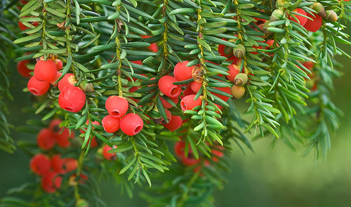 Yew - Taxus baccata | by lifeinthewild