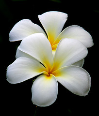 Double Plumeria | by janruss