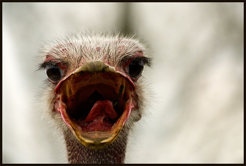 The Ostrich Song | by IgorLaptev