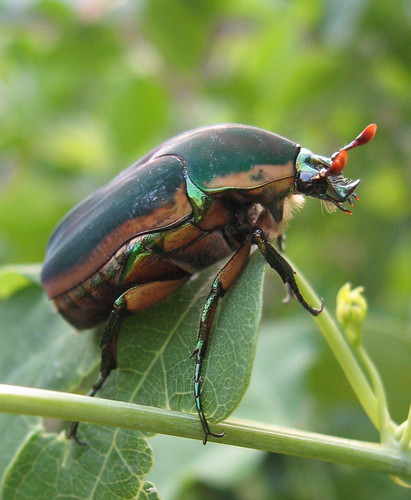 Green June Beetle, Cotinis nitida | by poppy2323