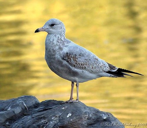 Ring-billed Gull | by Hal Trachtenberg