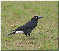 Pied Currawong | by jayspost