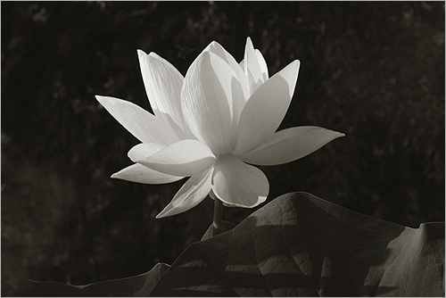 White lotus flower in black and white img 1915 bw by bahman