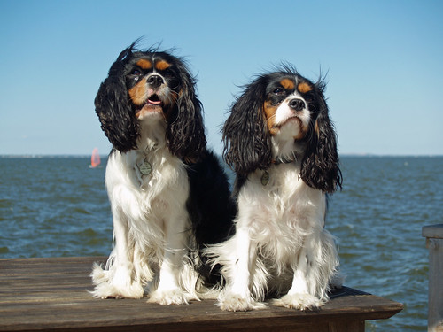 Cavalier King Charles Spaniels | by david_shankbone