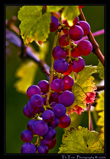 Trauben - wine grapes | by def110