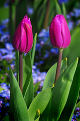 Two Tulips | by John R Rogers
