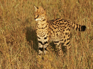 Serval in the Morning | by Picture Taker 2