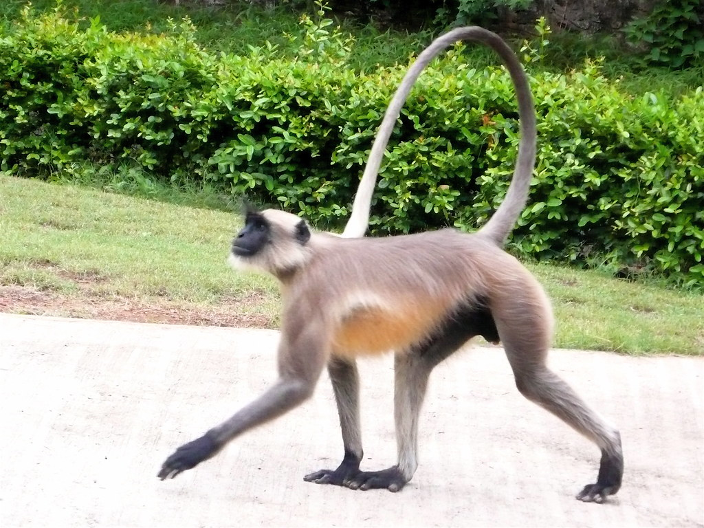 New technology has paralyzed monkeys walking| Latest News Videos ...