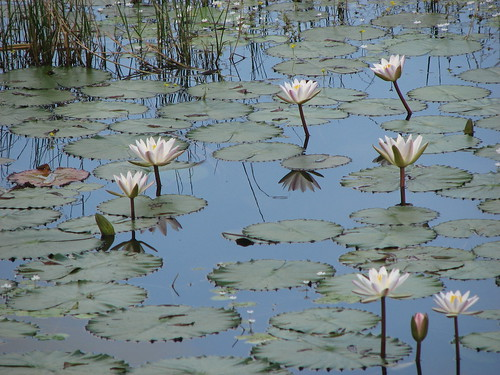 Water Lilies.. | by Lasitha Wicks
