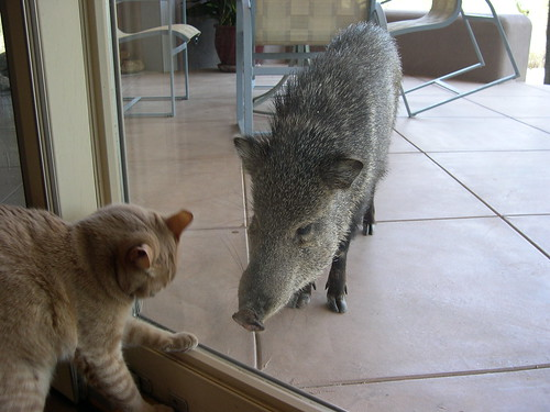 Cat vs. javelina | by midwinter
