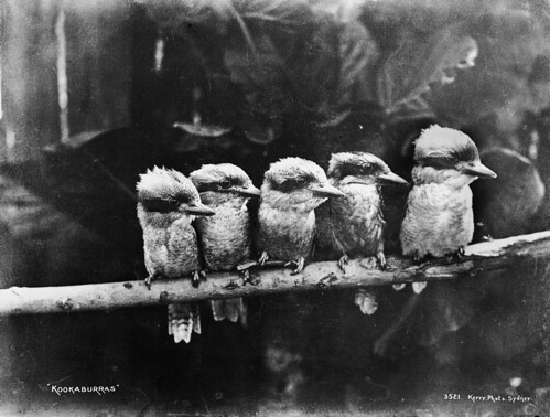 Kookaburras | by Powerhouse Museum Collection