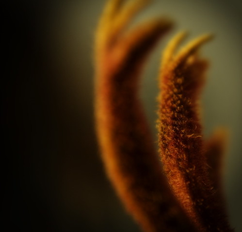 kangaroo paw | by Chairman Of The Bored