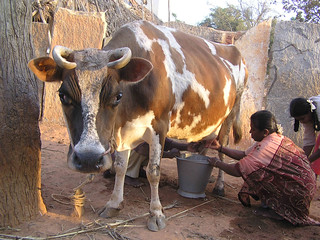 Milking a cow in Indian village | by d.j.fulford